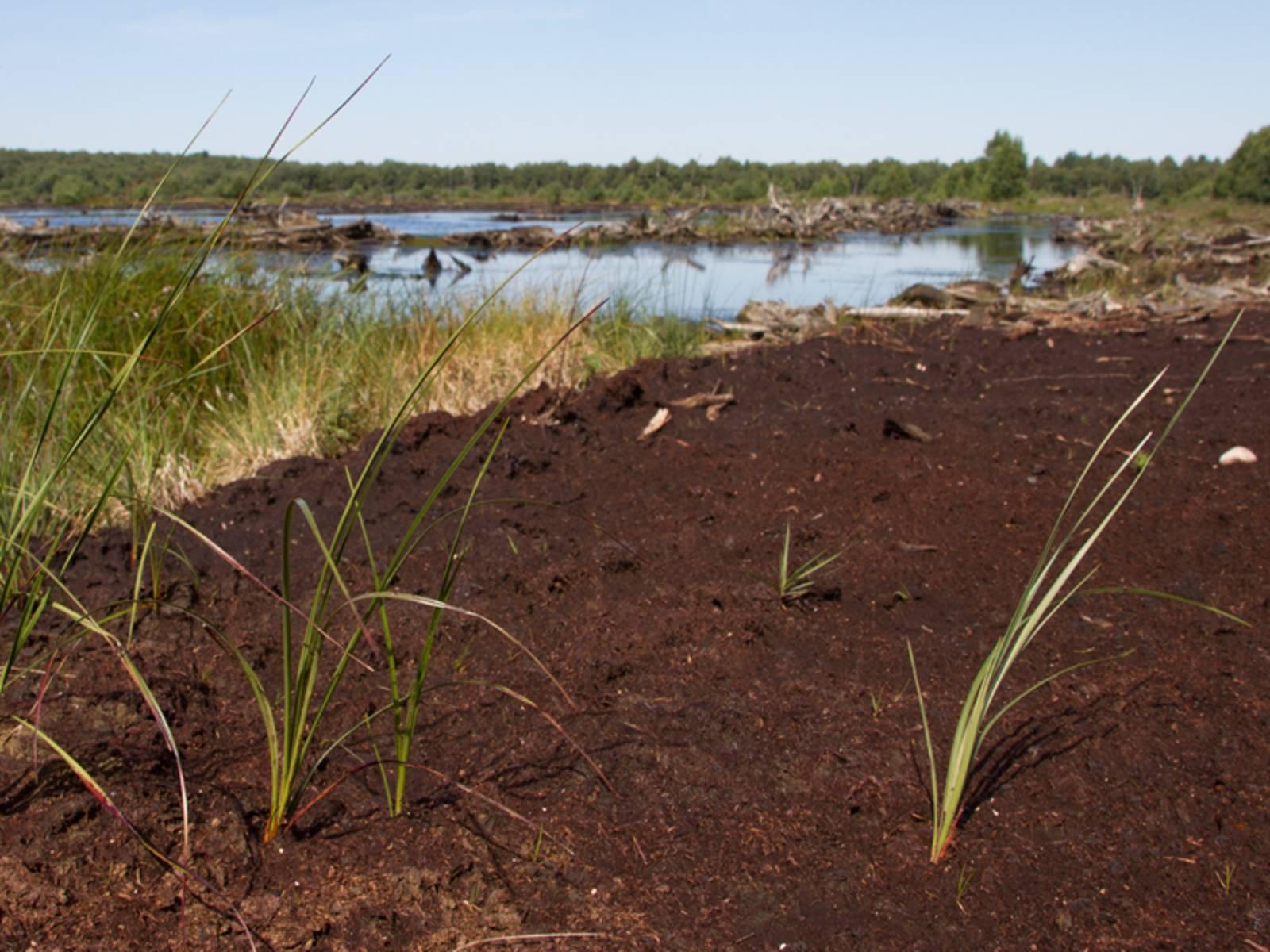 Moorlandschaft mit moorspezifischen Gräsern, der Boden ist feucht und torfhaltig.