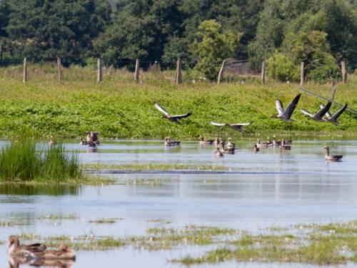 In einem See, der umgeben ist von Grün und Bäumen, schwimmen mehrere Enten. Fünf weitere Enten fliegen in geringer Höhe über das Wasser.