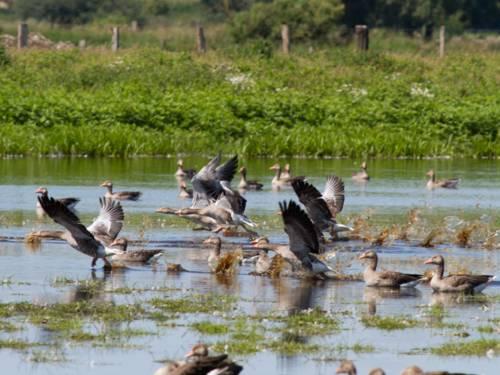 Mehrere Gänse fliegen aus dem Wasser heraus los, andere Gänse schwimmen auf dem Wasser der Meerbruchwiesen.