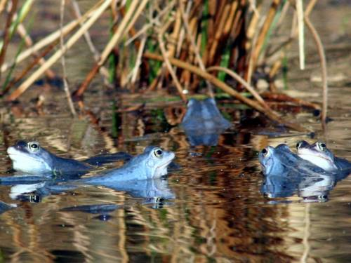 Blaue Frösche in einem Gewässer