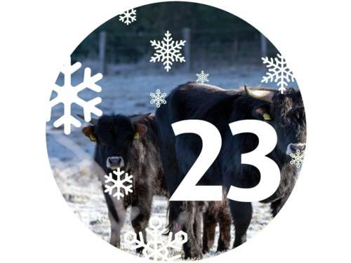 Zwei Kälber stehen bei einer Heckrind-Kuh, alle drei Tiere schauen in die Kamera. Der Grasboden ist vereist.