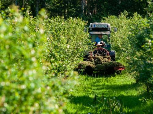 Ein Traktor fährt durch Reihen von Blaubeeren.