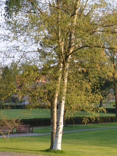 Zwei Birken wachsen dicht nebeneinander.