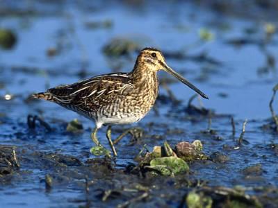 Ein Vogel mit langen Beinen, langem Schnabel und braunem Gefieder stackst durch Schlamm, der Hintergrud schimmert blau.