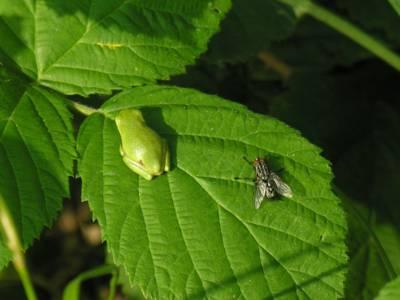Junger Laubfrosch und Fliege auf einem Blatt