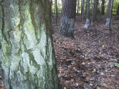 An mehren Bäumen sind helle Schlammspuren im unteren Bereich des Stamms zu erkennen.