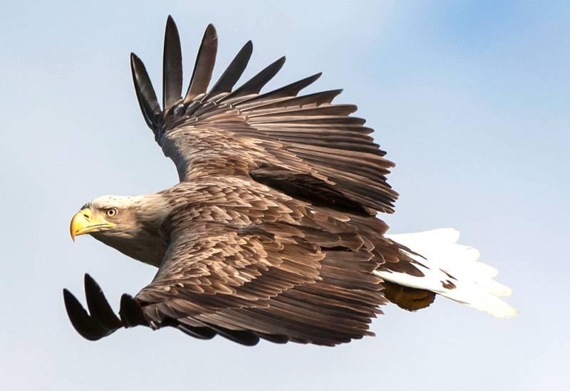 Ein Seeadler fliegt mit gespreizten Flügeln.