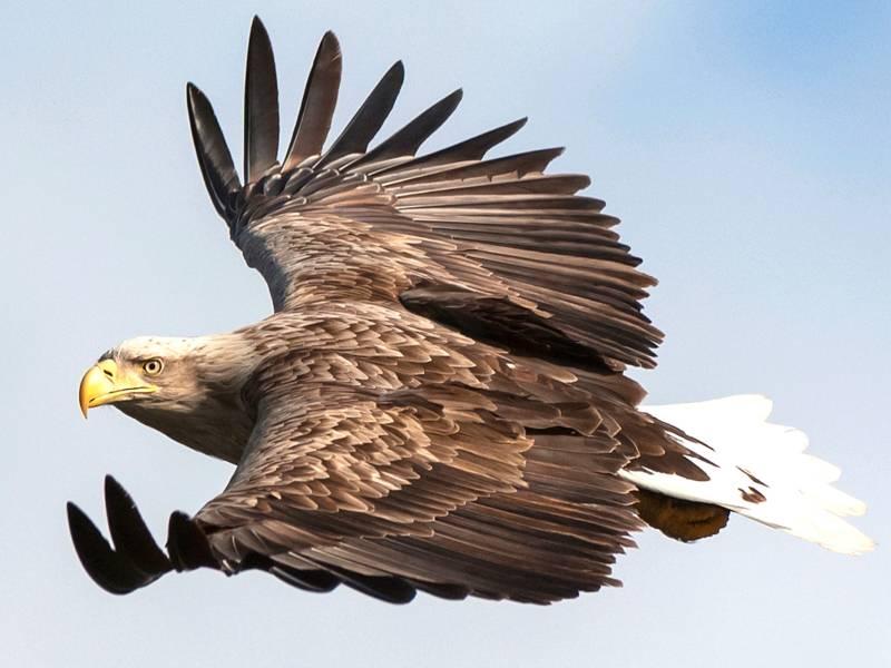 Ein Seeadler fliegt und hat den Kopf zum Betrachter geneigt.