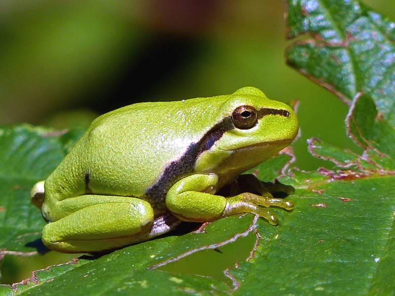 Ein grüner Laubfrosch sitzt auf einem grünen Blatt und nimmt ein Sonnenbad, seine Haut glänzt dabei im Sonnenschein.