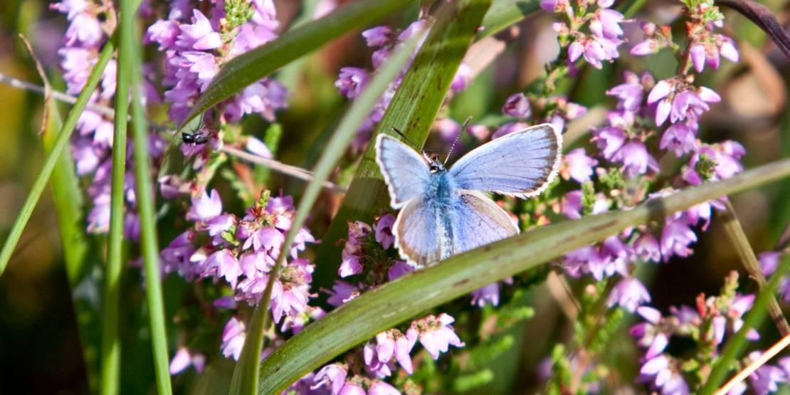 Ein blauer Schmetterling landet auf einer Moorpflanze.
