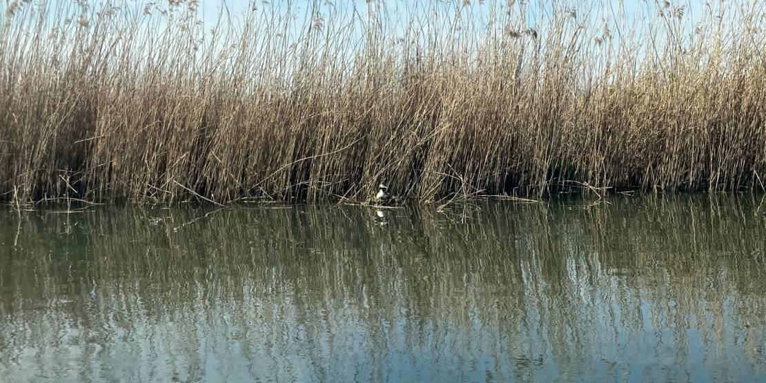 Ein Haubentaucher brütet im bewachsenen Uferbereich.