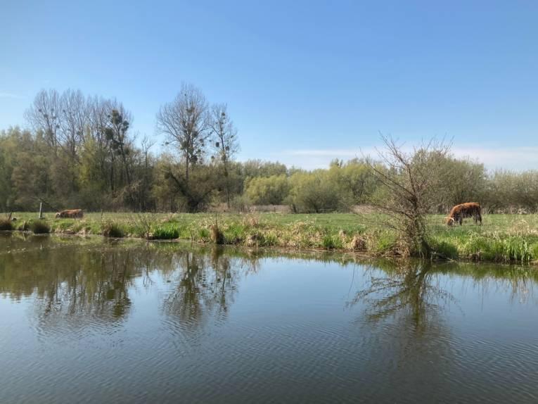 Der Blick geht über das Wasser, am Ufer grasen Rinder auf einer Weide.