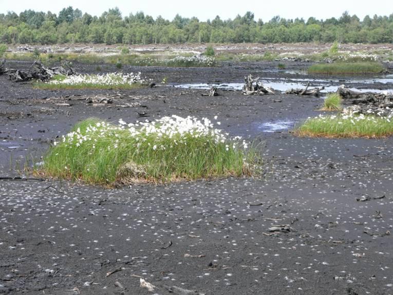 Wollgras auf einer ehemaligen Abbaufläche