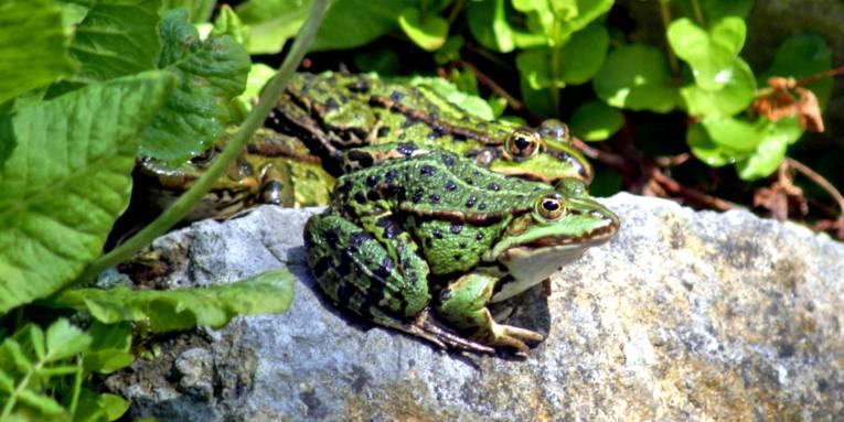 Zwei grüne Frösche sitzen auf einem Stein und lassen sich von der Sonne bescheinen.