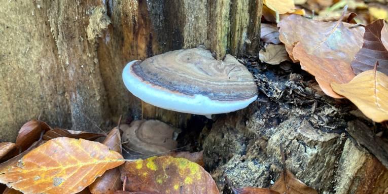 Ein bläulich schimmernder Pilz wächst knapp über dem Waldboden an einem Baumstamm ohne Rinde.