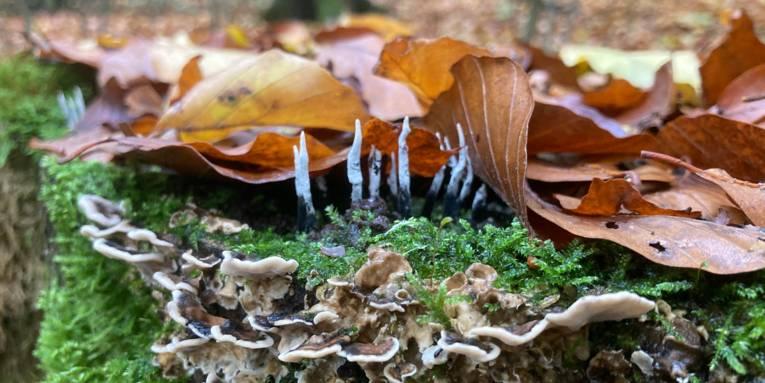Fruchtkörper eines Pilzes wachsen an einem moosigen Baumstamm.