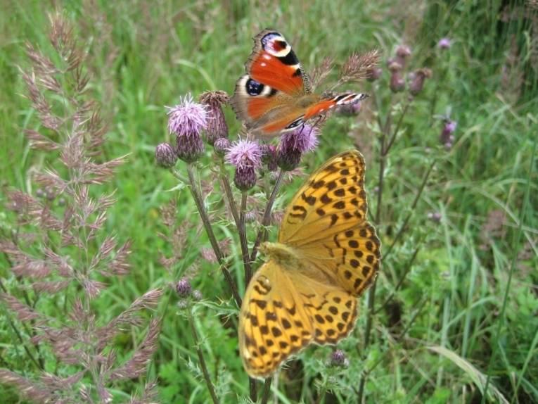 Zwei Schmetterlinge auf einer Distel