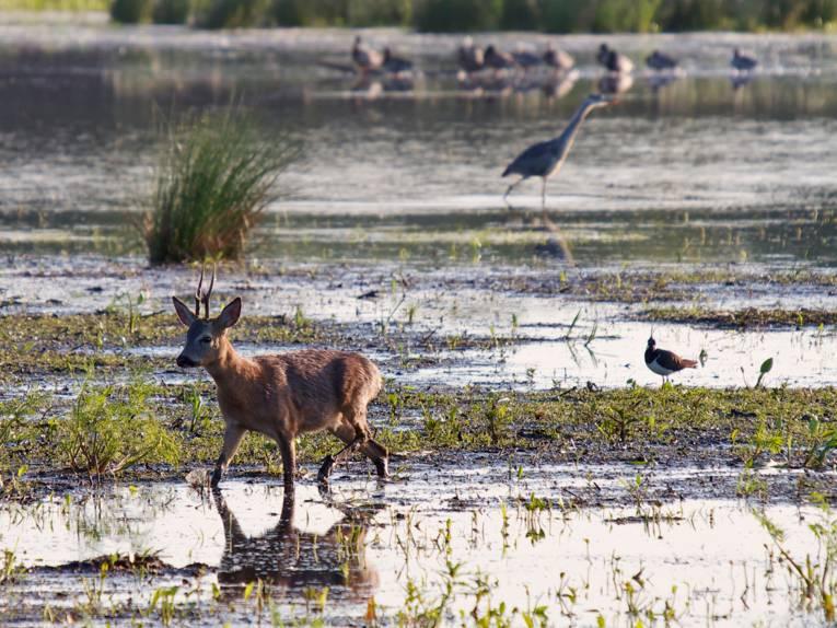 Wildtiere bewegen sich durch die nassen Meerbruchwiesen.