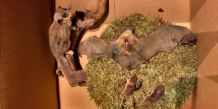 Zwei Spitzmäuse, eine Fledermaus und ein Siebenschläfer liegen als Präparate in einem Pappkarton.