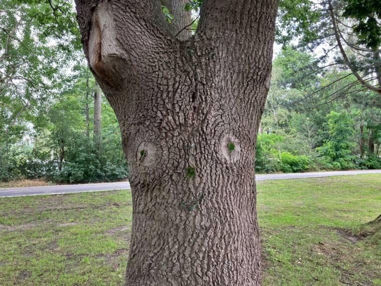 Baum mit einem Gesicht: zwei Astlöcher bilden die Augen, Moos und ein Blatt bilden Nase, und Mund. Außerdem bilden zwei Blätter die Pupillen in den Augen.