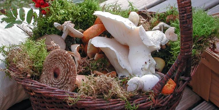 Pilze, Moos und Beeren in einem Weidenkorb.