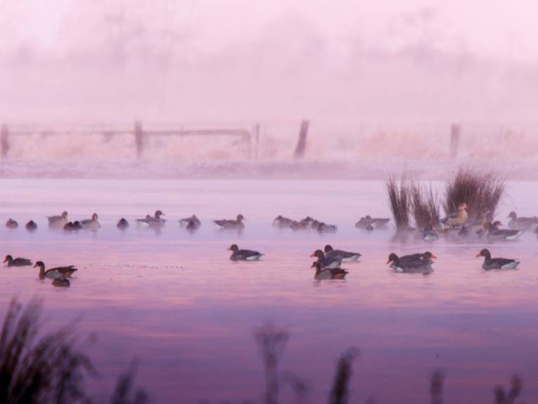 Enten schwimmen auf einem Gewässer, die Szene ist in rosafarbene Töne getaucht.