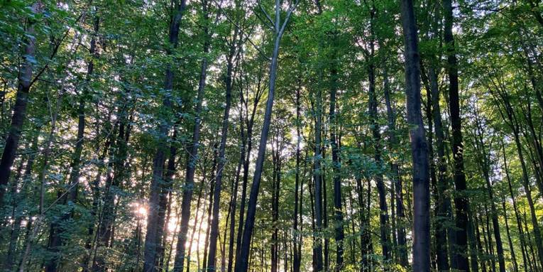 Die Sonne scheint durch eine Reihe hoher, schlanker Waldbäume.
