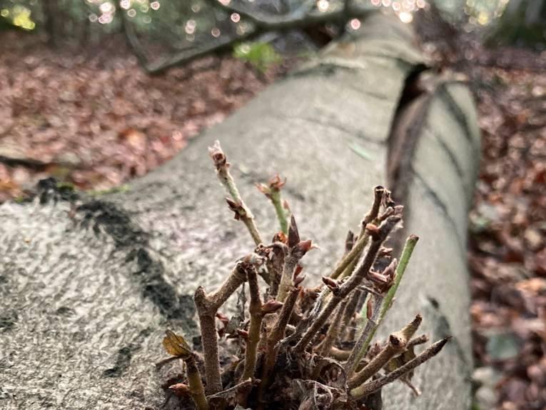 Ein umgestürzter, liegender Baum treibt frisch aus.