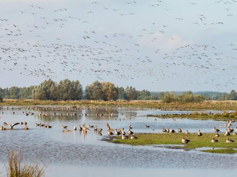 Graugänse und andere Zugvögel schwimmen auf einer Wasserfläche, laufen an Land oder fliegen in der Luft.