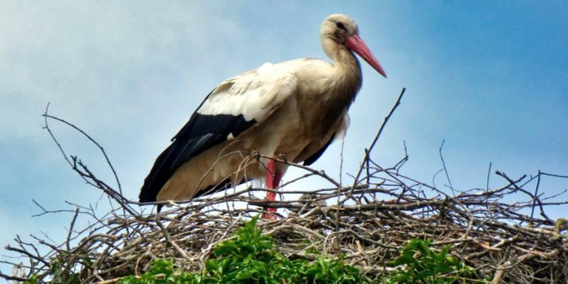 Ein Storch steht in einem Storchennest.
