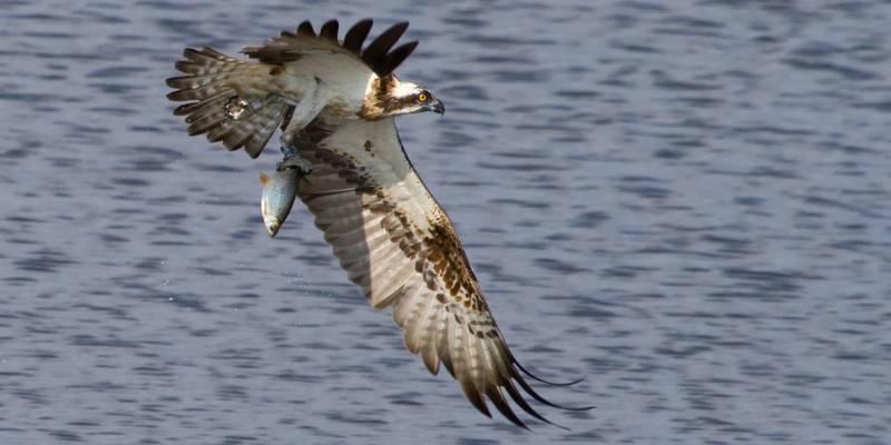 Ein Fischadler fliegt mit einem Fisch in seinen Klauen.