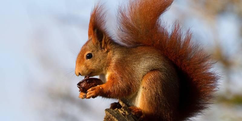 Ein Eichhörnchen sitzt auf einem Baum und knabbert an einer Walnuss.