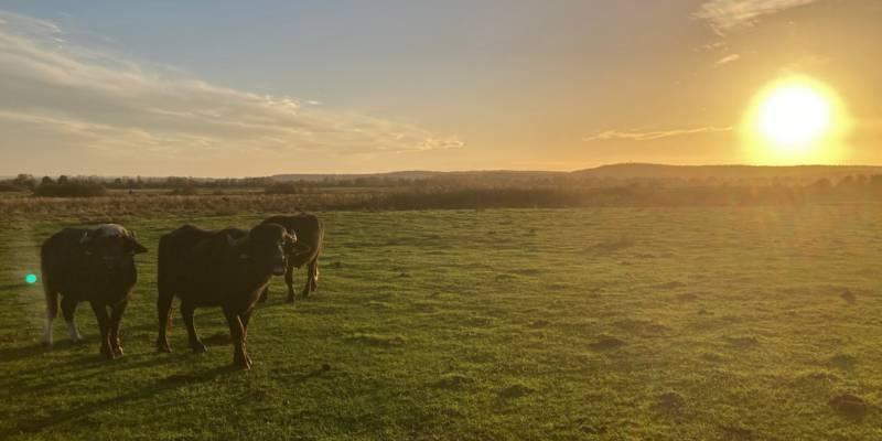 Wasserbüffel stehen im Gegenlicht der Sonne in der offenen Landschaft.
