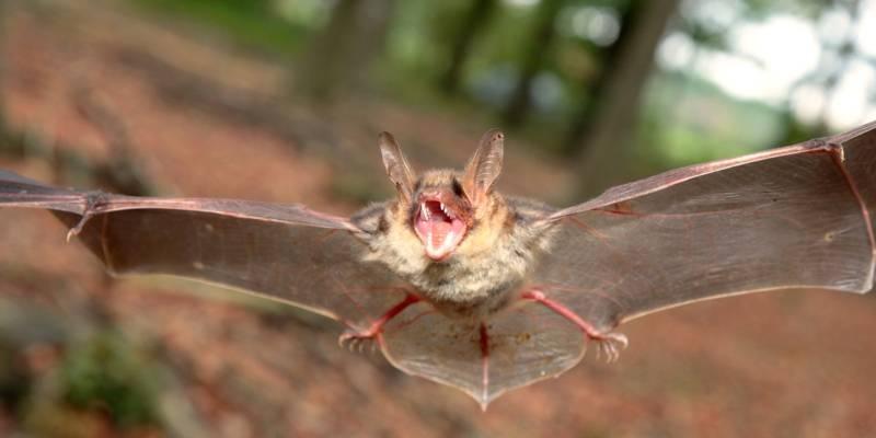 Eine Fledermaus fliegt mit ausgebreiteten Flügeln und aufgerissenem Maul im Wald.
